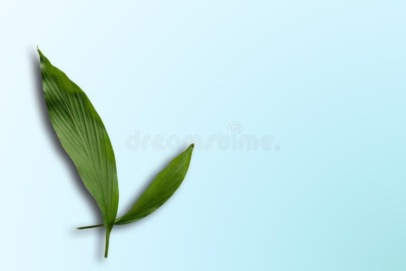 Feuille de safran des indes photo libre de droits