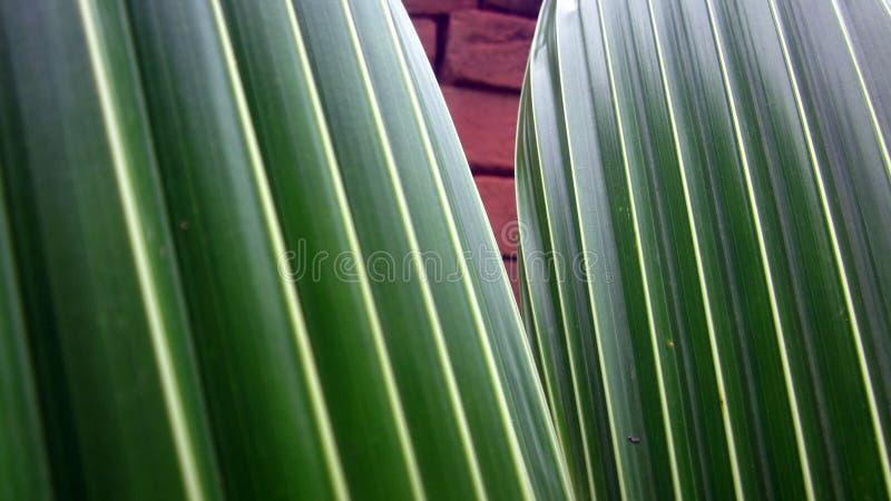 Feuille de safran des indes avec les rayures jaunes photos stock
