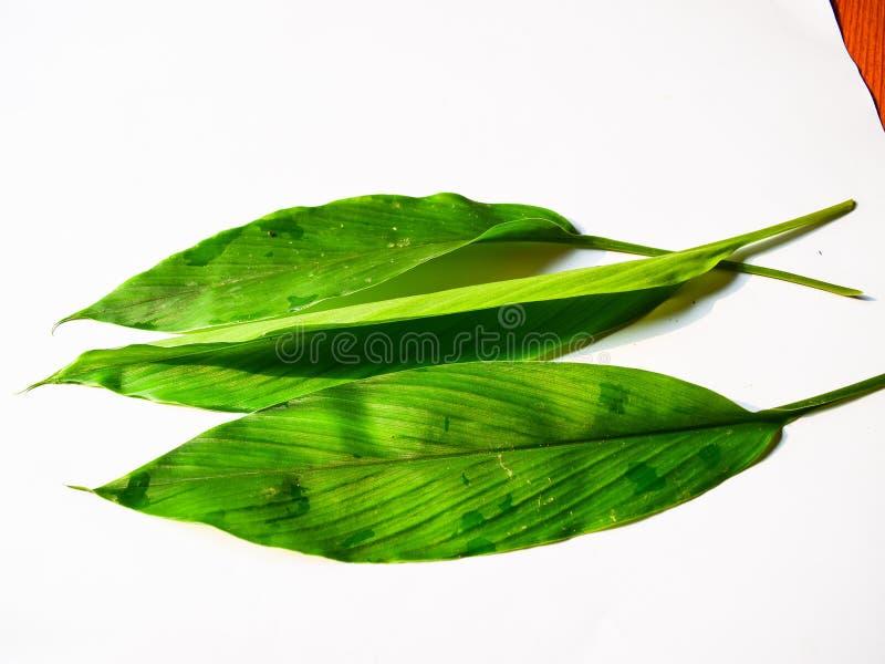 Feuille de safran des indes d'isolement sur le fond blanc photographie stock libre de droits