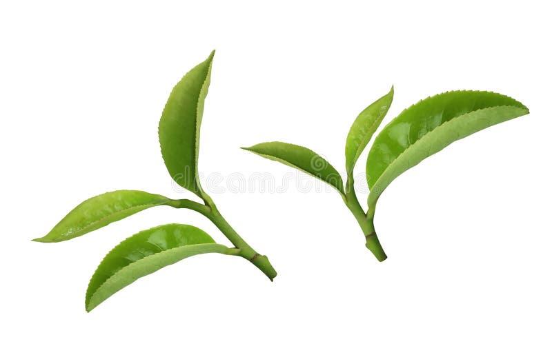 Feuille de thé images libres de droits