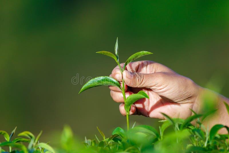 Feuille de thé de cueillette dans la plantation de thé de ferme, feuilles de thé de cueillette à une plantation de thé, plan rapp images stock