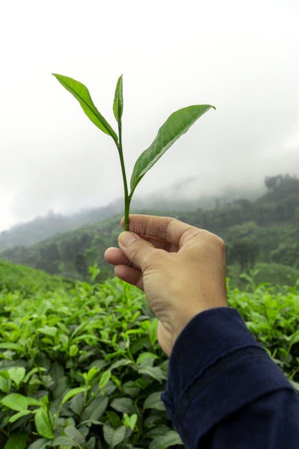 Feuille de thé fraîche sur une main de fille avec le fond de plantation de buissons de thé photo stock