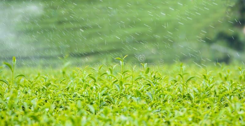Feuille de thé verte avec la rosée en Thaïlande images stock