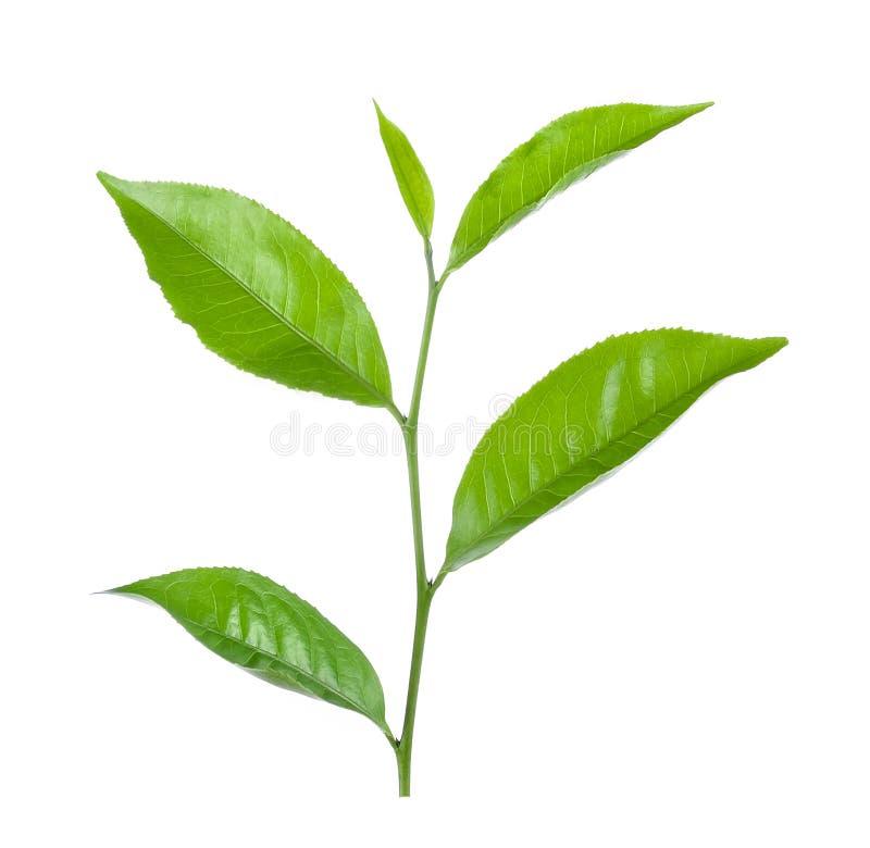 Feuille de thé verte d'isolement sur le blanc images stock