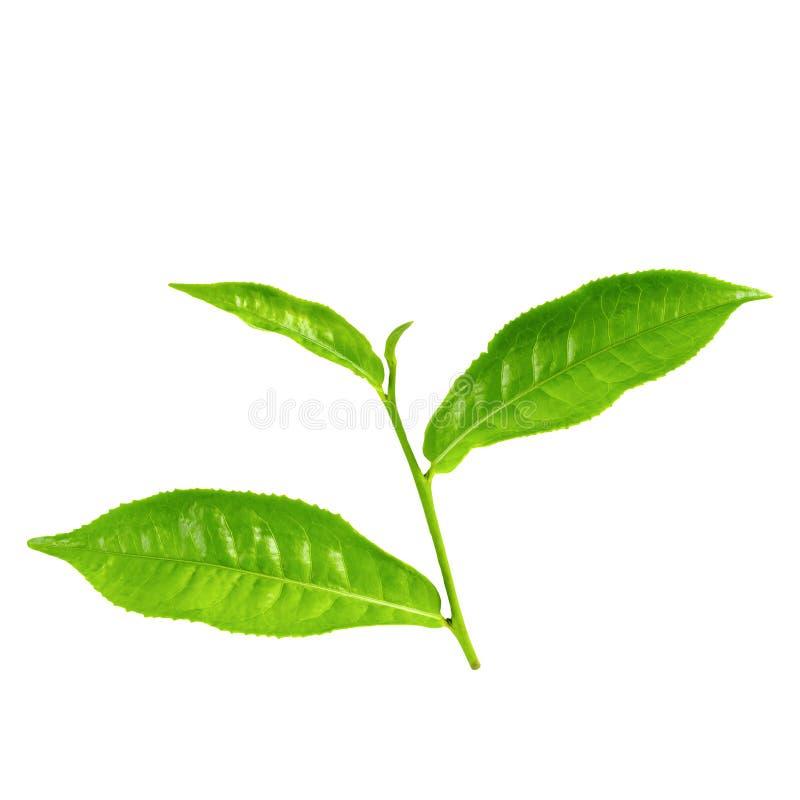 Feuille de th? verte d'isolement au-dessus du fond blanc photographie stock libre de droits
