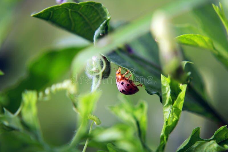Feuille de vert de coccinelle un jour ensoleillé images stock