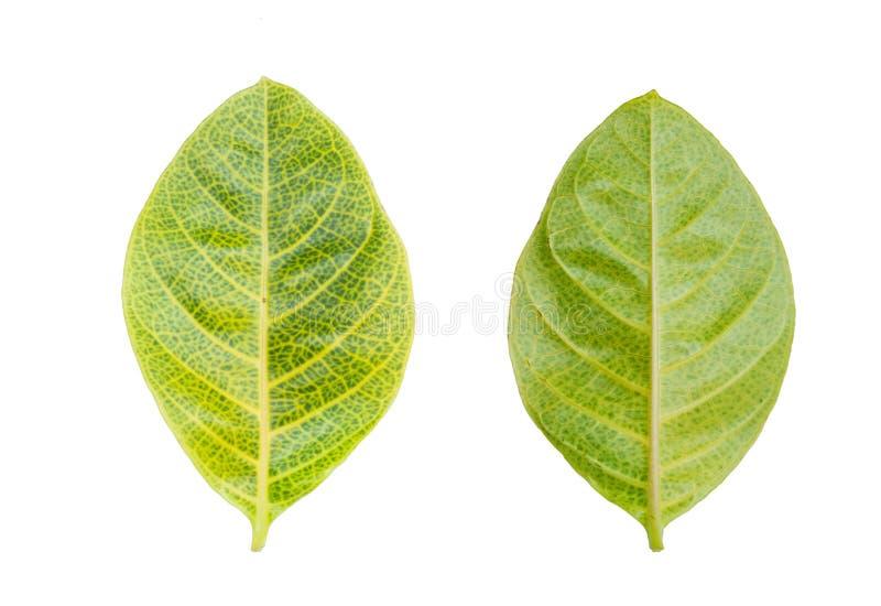 Feuille de vert jaune de dos et d'avant d'isolement sur le fond blanc photos libres de droits
