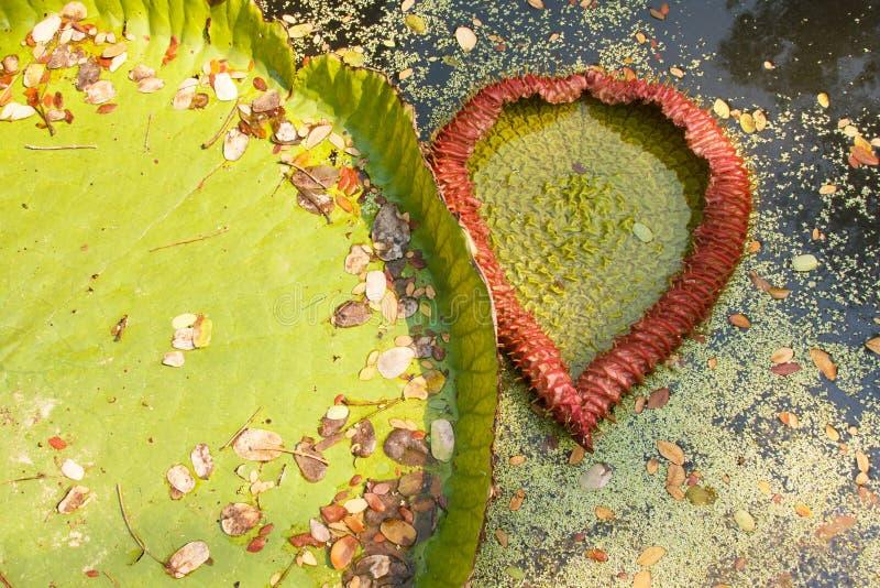 Feuille de Victoria de flotteur waterlily sur l'eau Ressemblez à la forme de coeur photo libre de droits