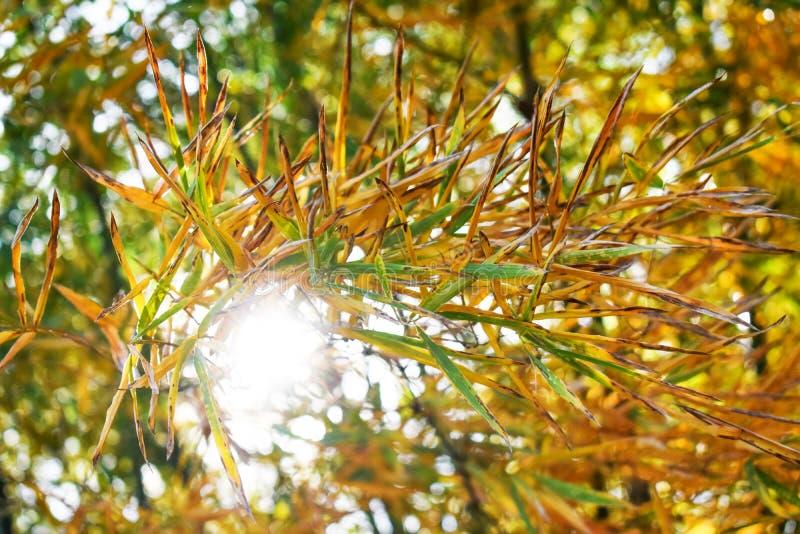 Feuille en bambou jaune en automne pour l'usage comme fond d'image images stock