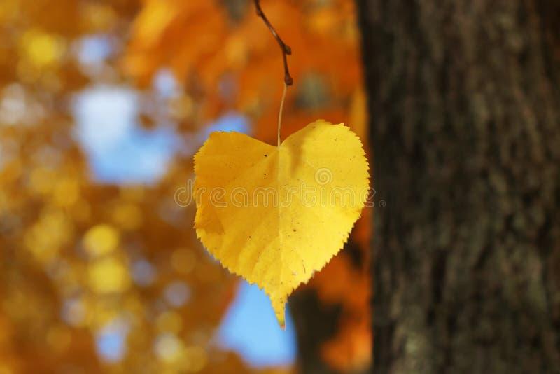 Feuille en forme de coeur d'automne sur une branche images stock