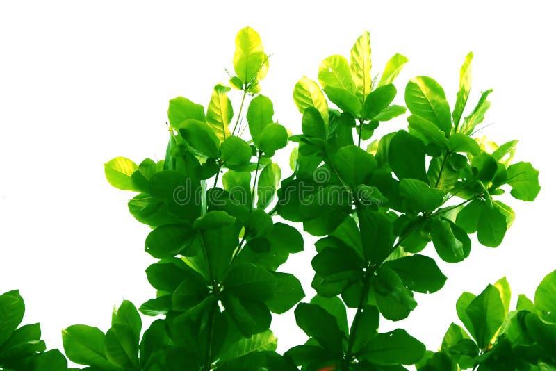 Feuille et branche vertes de l'arbre de catappa de terminalia, forme d'isolement sur le fond blanc photo libre de droits