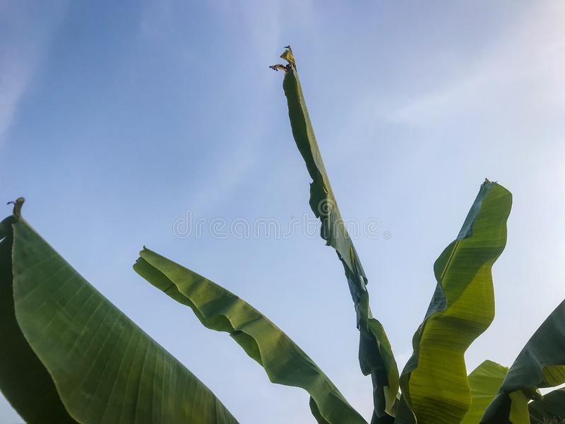 Feuille et ciel de banane photo stock