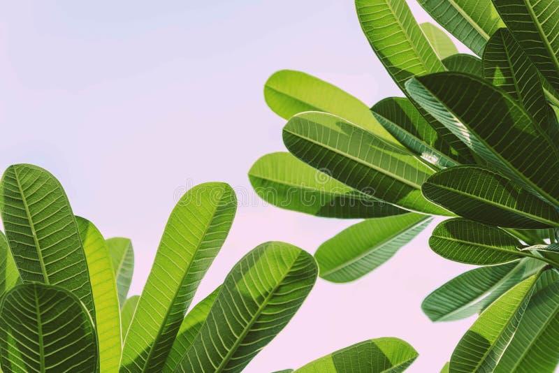 Feuille et ciel verts de Plumeria photographie stock