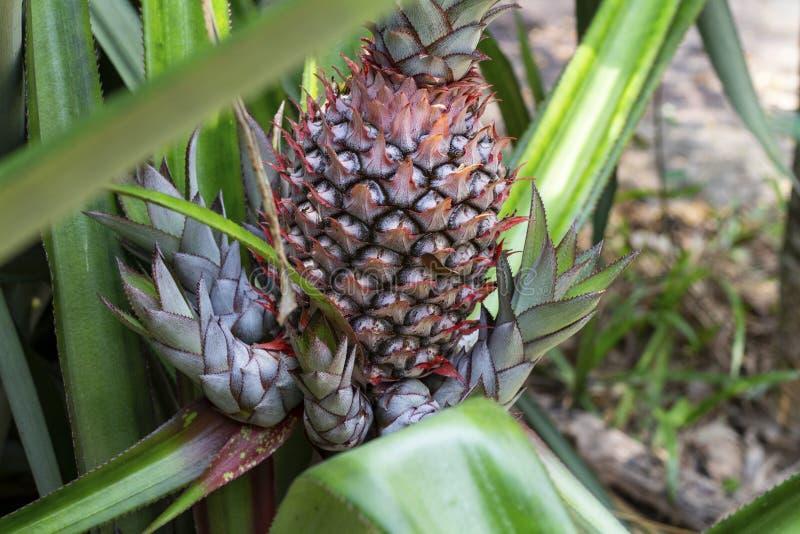 Feuille et fruit d'usine d'ananas Fruit d'ananas sur le buisson Fleur croissante d'ananas de récolte tropicale de jardin photos stock