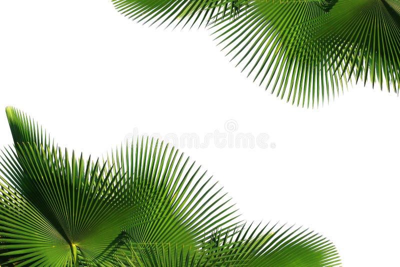 Feuille de palmier photo libre de droits