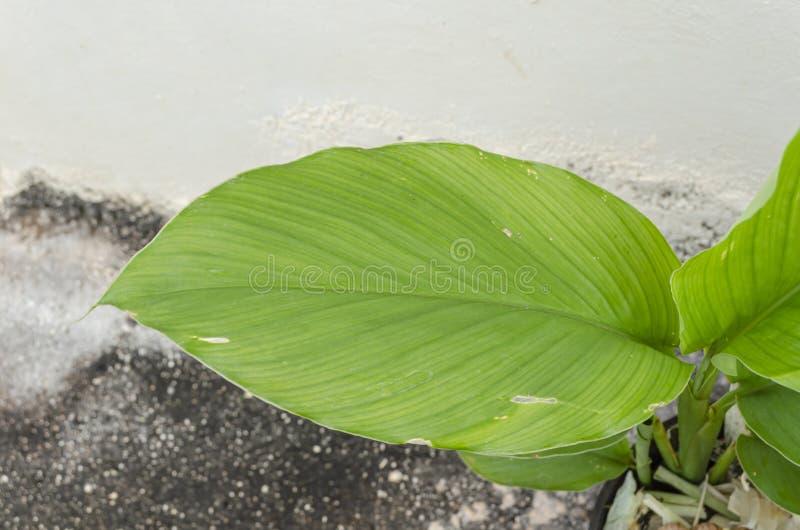 Feuille horizontale d'usine de safran des indes images stock