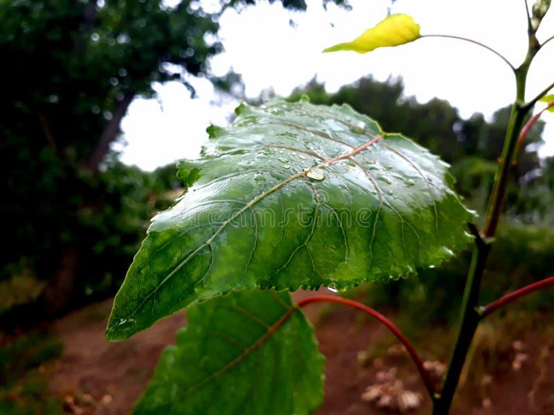 Feuille humide de mojada d'escroquerie de Hoja photo libre de droits