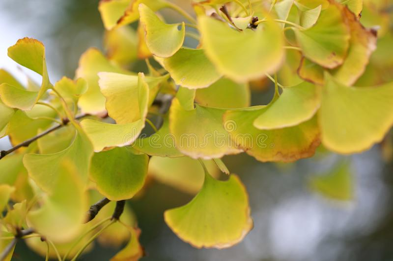 Feuille jaune d'or de Ginkgo photographie stock