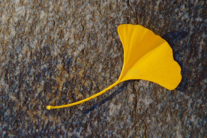 Feuille jaune de Gingko en Autumn On Grey Stone photos libres de droits