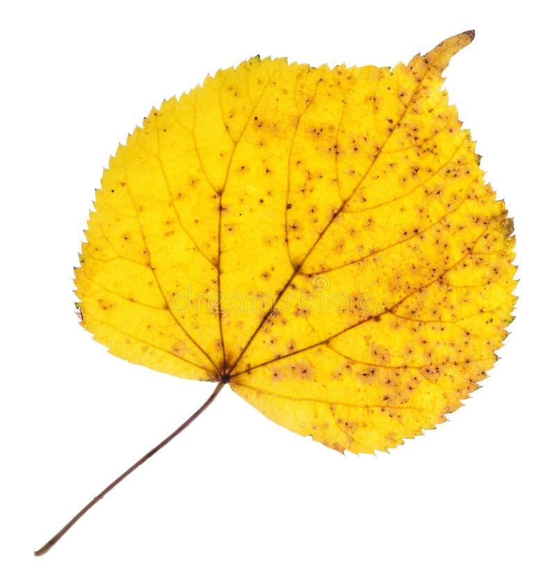 Feuille jaune de tilleul d'isolement photographie stock