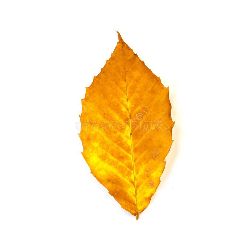 feuille jaune et orange de h 234 tre d isolement sur le blanc photo stock image 52383206