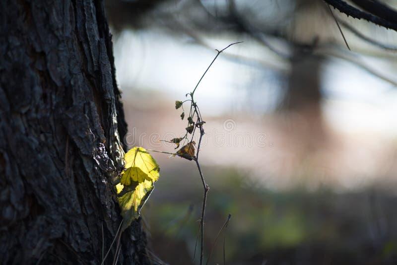 Feuille jaune isolée sur l'arbre, automne d'été image libre de droits