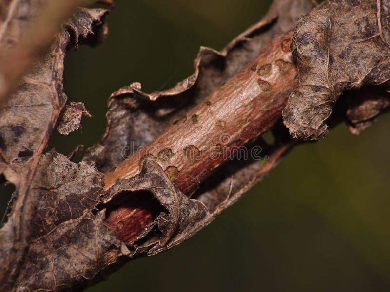 Feuille morte enroulée autour de la branche d'arbre images libres de droits