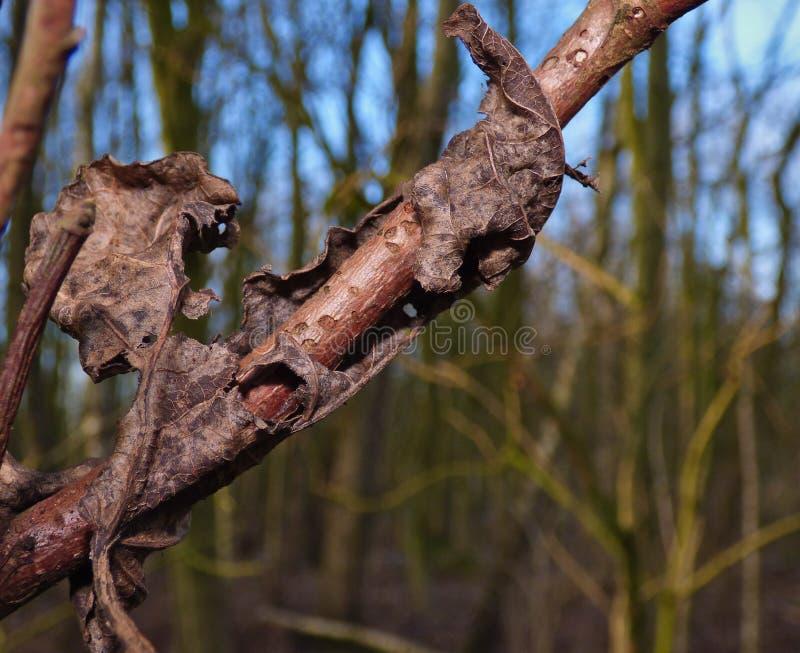 Feuille morte enroulée autour de la branche d'arbre photo stock