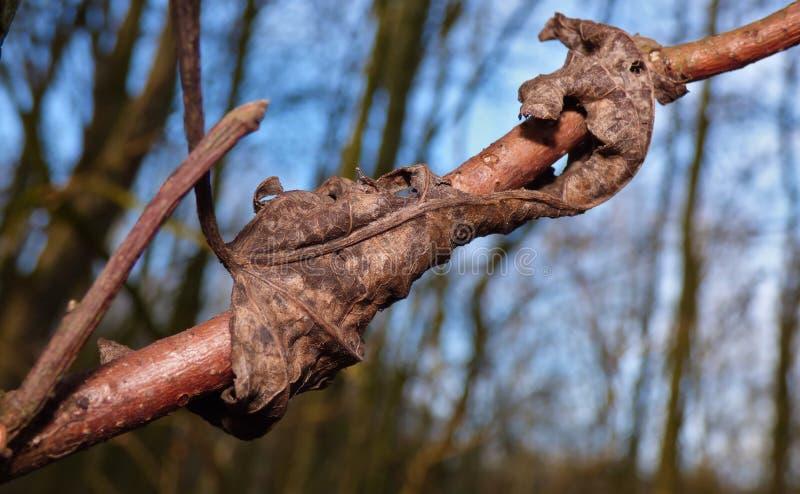 Feuille morte enroulée autour de la branche d'arbre photos stock