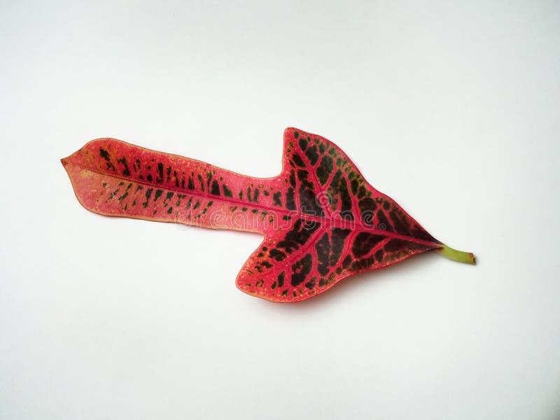 Feuille multicolore de Croton Usine domestique exotique image stock