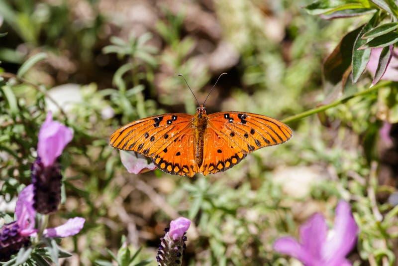 Feuille orange de papillon de fritillaire de Golfe ; Bourgeon floraux pourpres dans le premier plan, fond de plante verte photos stock