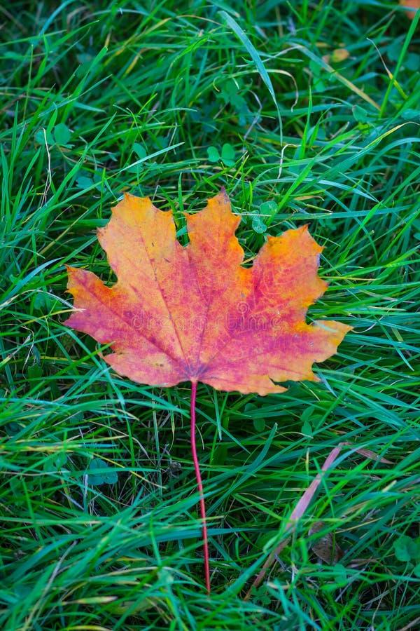 Feuille orange simple tombée sur l'herbe verte images stock