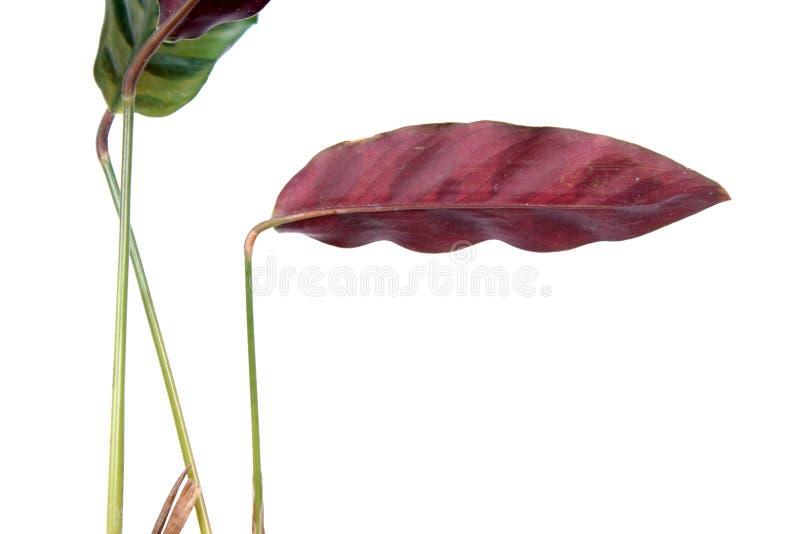 Feuille pourpre de lancifolia de Calathea ou usine de serpent à sonnettes d'isolement sur le fond blanc photo stock