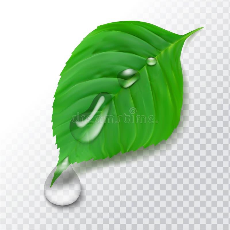 Feuille réaliste de vert du vecteur 3d avec des baisses de l'eau après pluie illustration stock