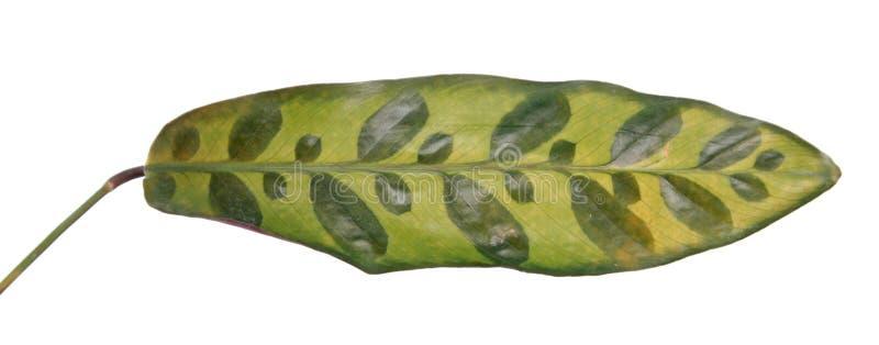 Feuille repérée de lancifolia de Calathea ou de syn d'usine de serpent à sonnettes Insignis de Calathea d'isolement sur le fon photo libre de droits