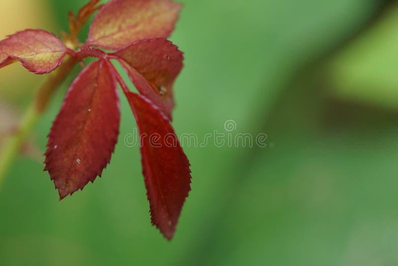 Feuille rose de couleur rouge Macro, fond images stock