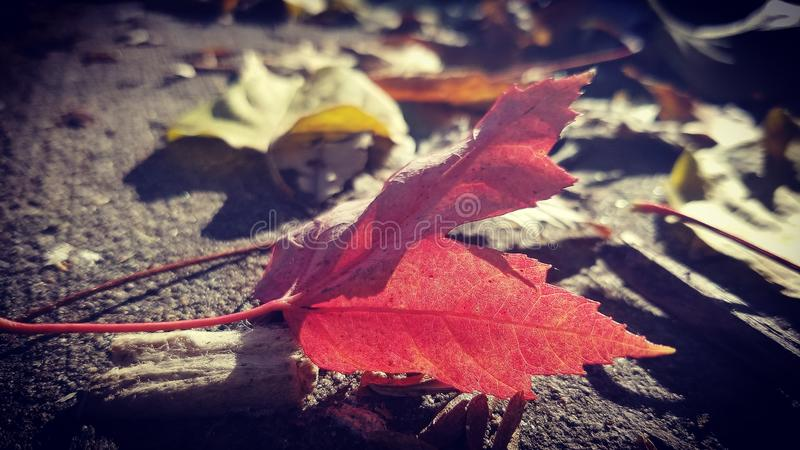 Feuille rouge photos stock