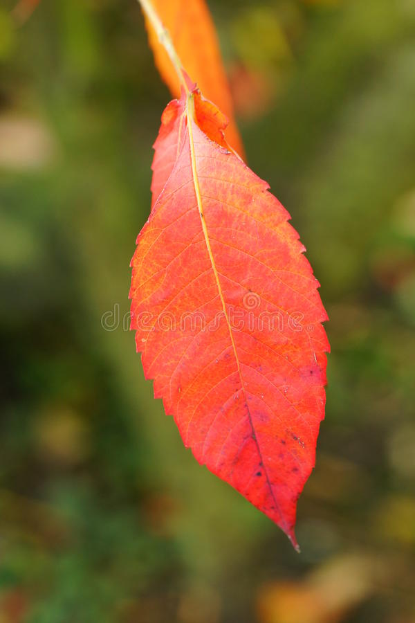 Download Feuille rouge photo stock. Image du automne, nature, rouge - 45351920