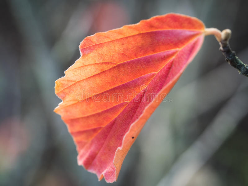 Feuille rouge photographie stock