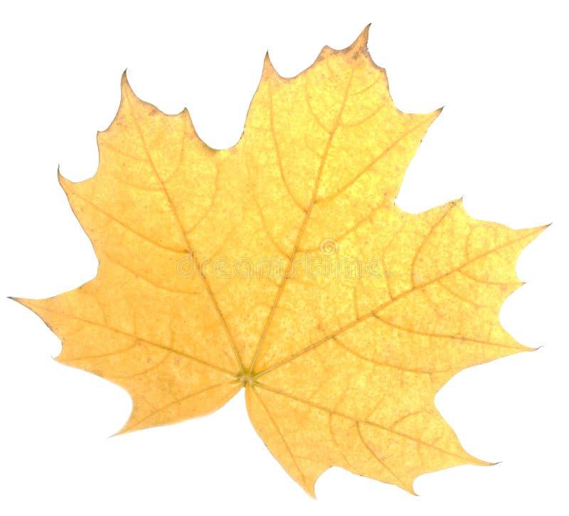 Feuille rouge d'automne, d'isolement sur le fond blanc image libre de droits