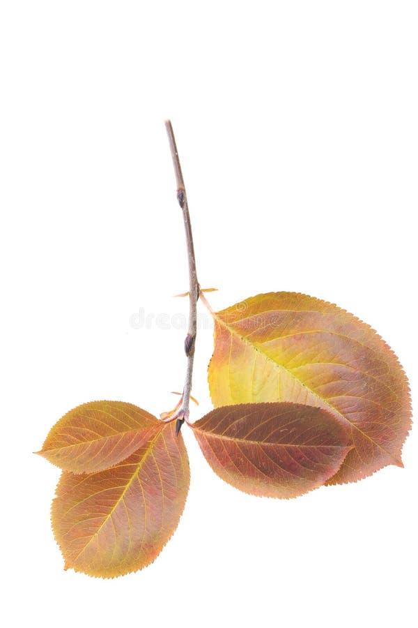 Feuille rouge d'automne, d'isolement sur le fond blanc photographie stock libre de droits