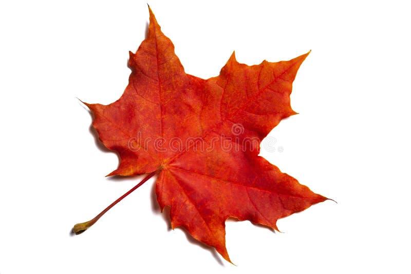 Feuille rouge d'automne d'un érable sur fond blanc rapproché photos libres de droits
