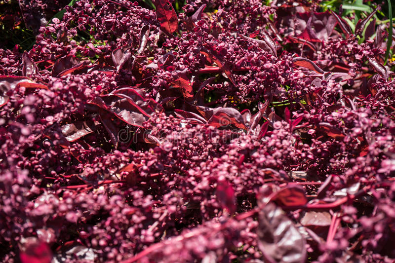 Feuille rouge foncé de salade dans l'agriculture de jardin photographie stock