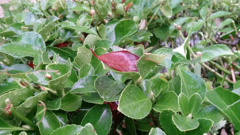Feuille rouge sur un buisson vert image libre de droits