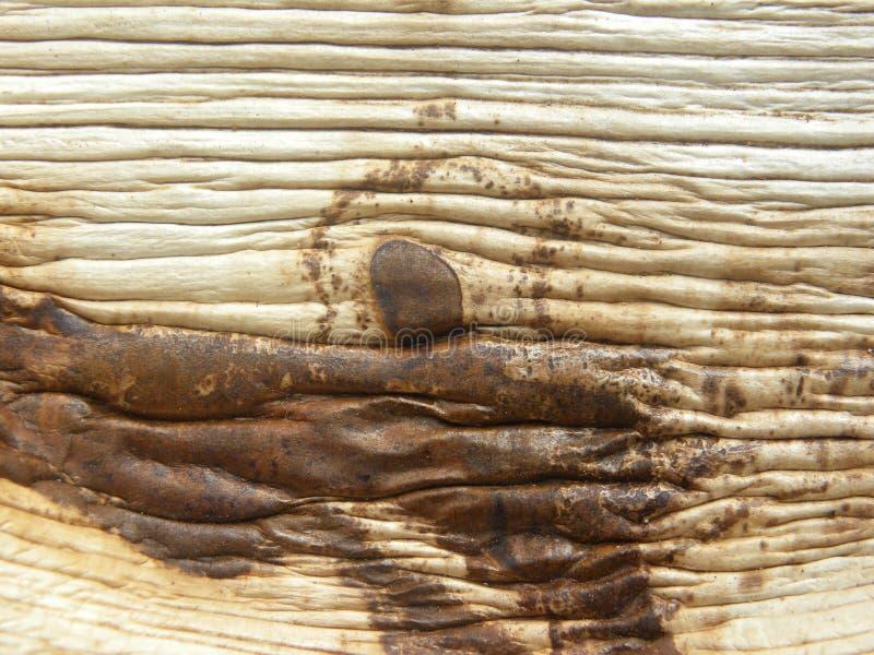 Feuille sèche d'arec image libre de droits