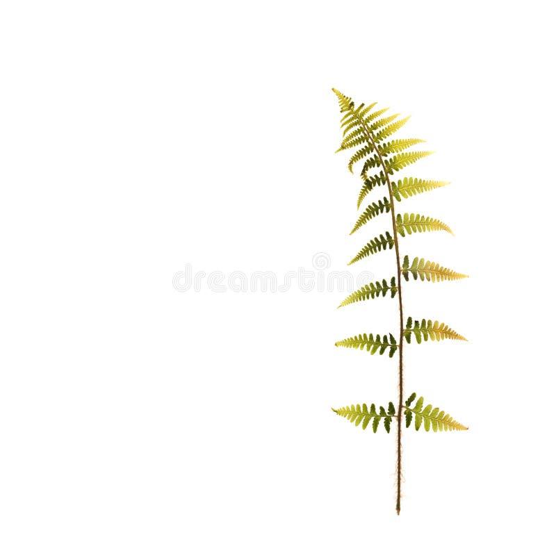 Feuille sèche d'une fougère pour un herbier sur le blanc photos stock