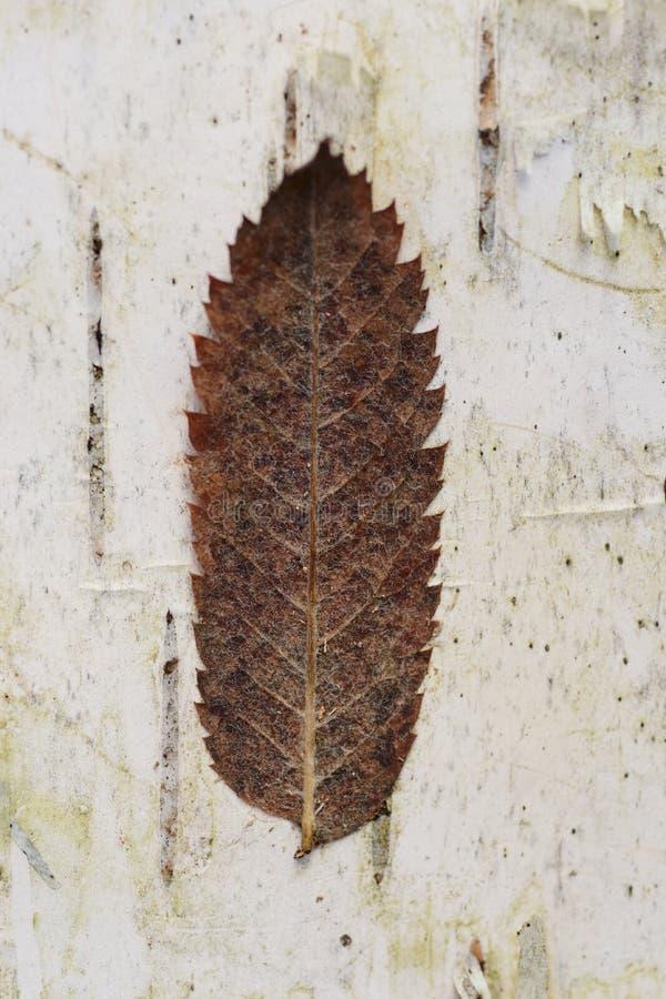 Feuille s che sur l 39 corce d 39 arbre de bouleau image stock - Feuille de bouleau photo ...