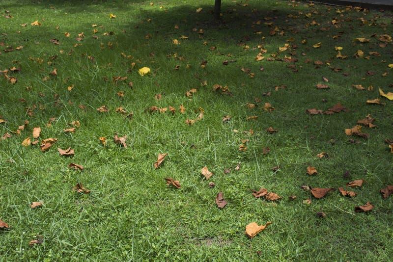 Feuille sèche tombant sur l'herbe au plancher dans le jardin photo libre de droits