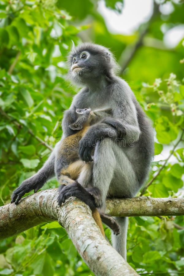 Feuille-singe sombre image libre de droits