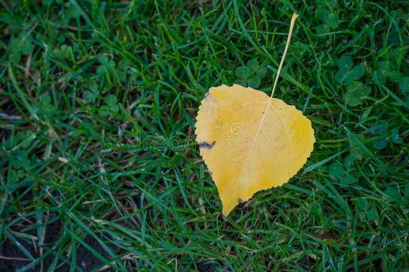 Feuille tombée jaune simple de hêtre pendant l'automne sur une pelouse d'herbe image libre de droits